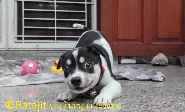 การเลี้ยงลูกสุนัขแรกเกิด