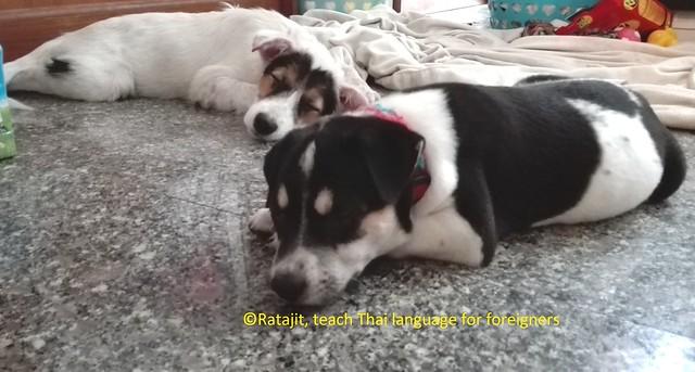 การเลี้ยงลูกสุนัข
