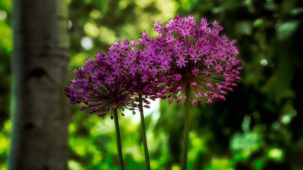 Violet Onion Plant
