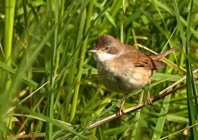 Whitethroat moves quietly through the grasses