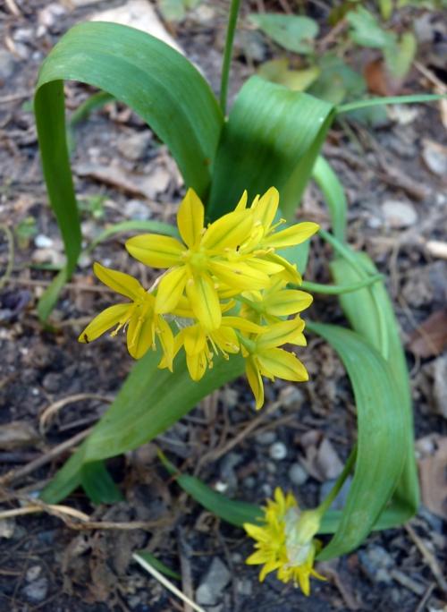 Allium moly 51214447866_3e73e7279d_o
