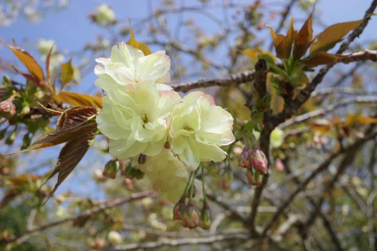 沼津アルプス縦走登山・鷲頭山の桜
