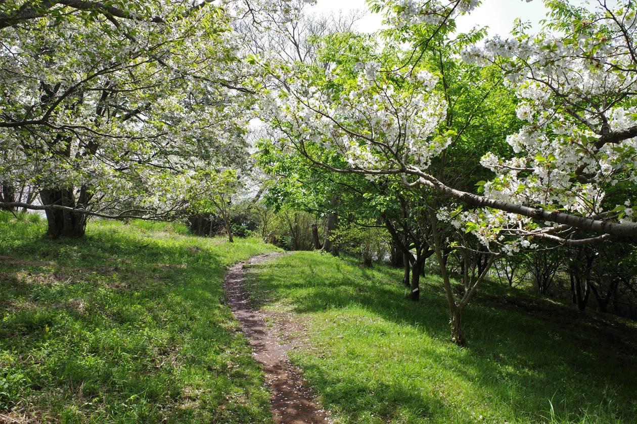桜満開の沼津アルプス縦走登山