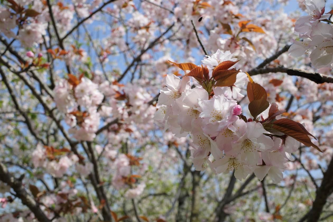 新桜台の桜