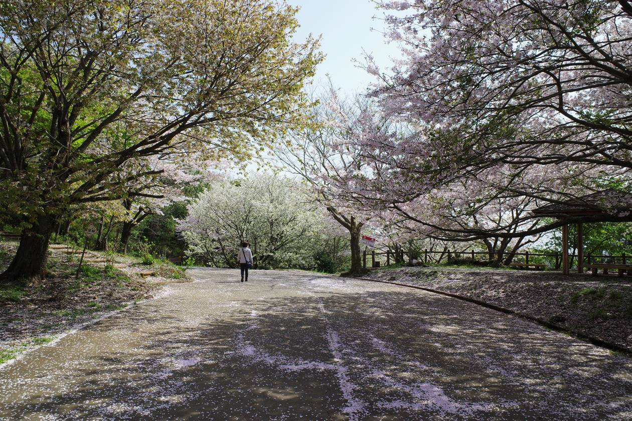 香貫山~新桜台の桜