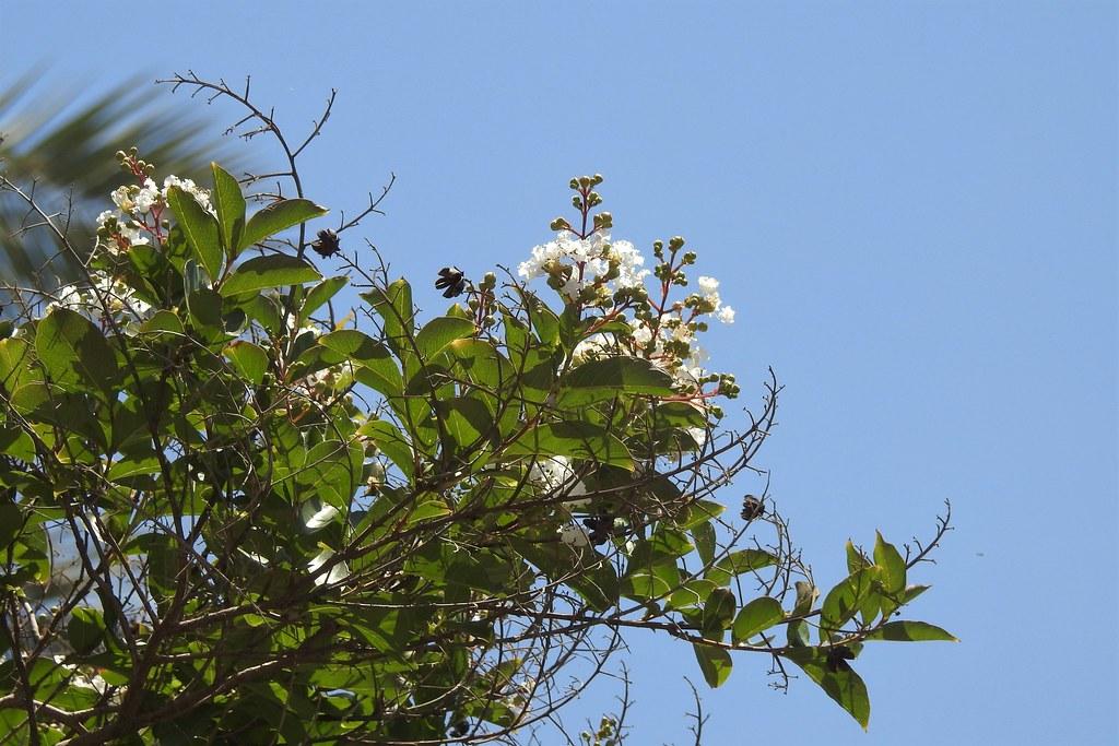 Лагерстрёмия инди́йская, или индийская сирень (лат. Lagerstroemia indica)
