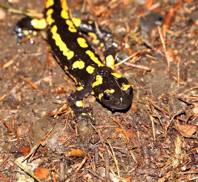 Salamandre (Les Salines) IMG_9799