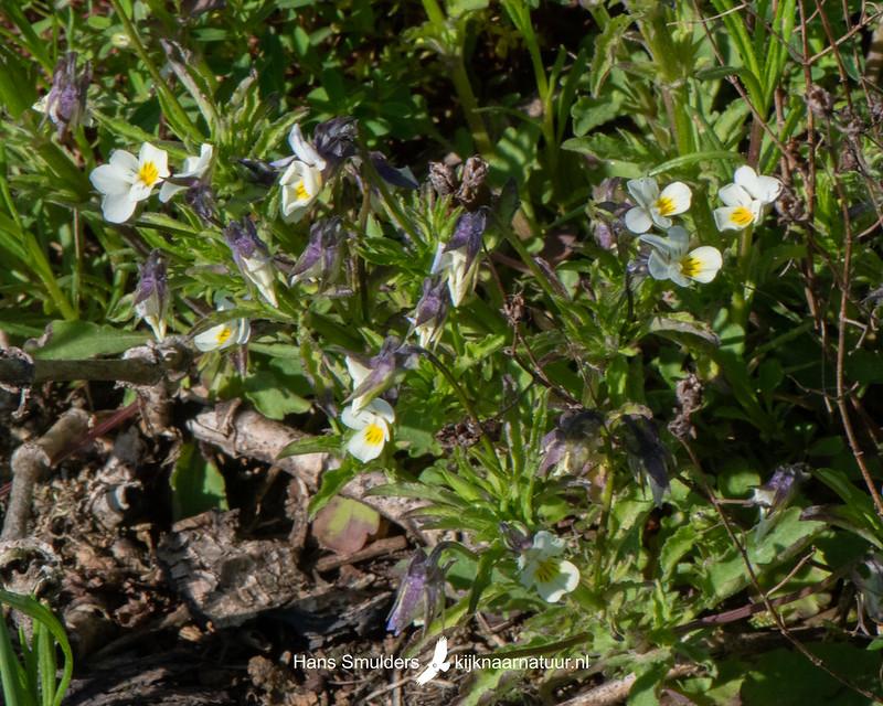 akkerviooltje (Viola arvensis)-850_3388