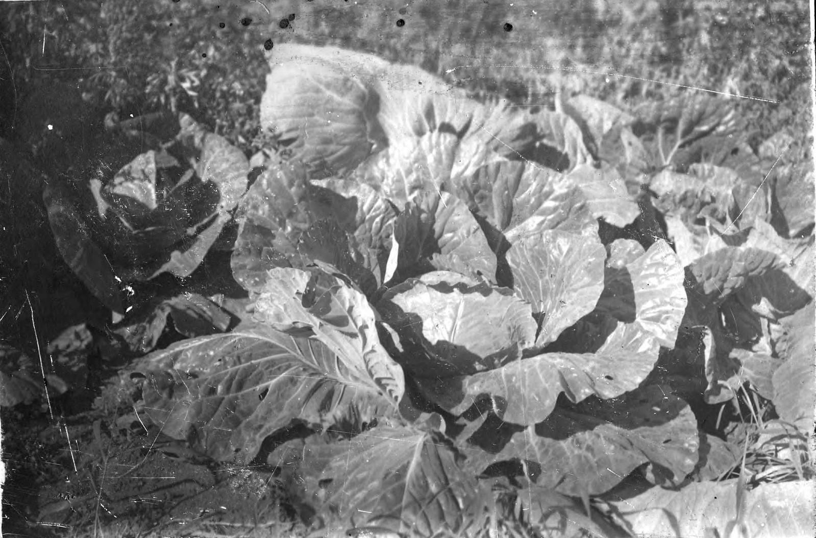 1910. Капуста белокочанная