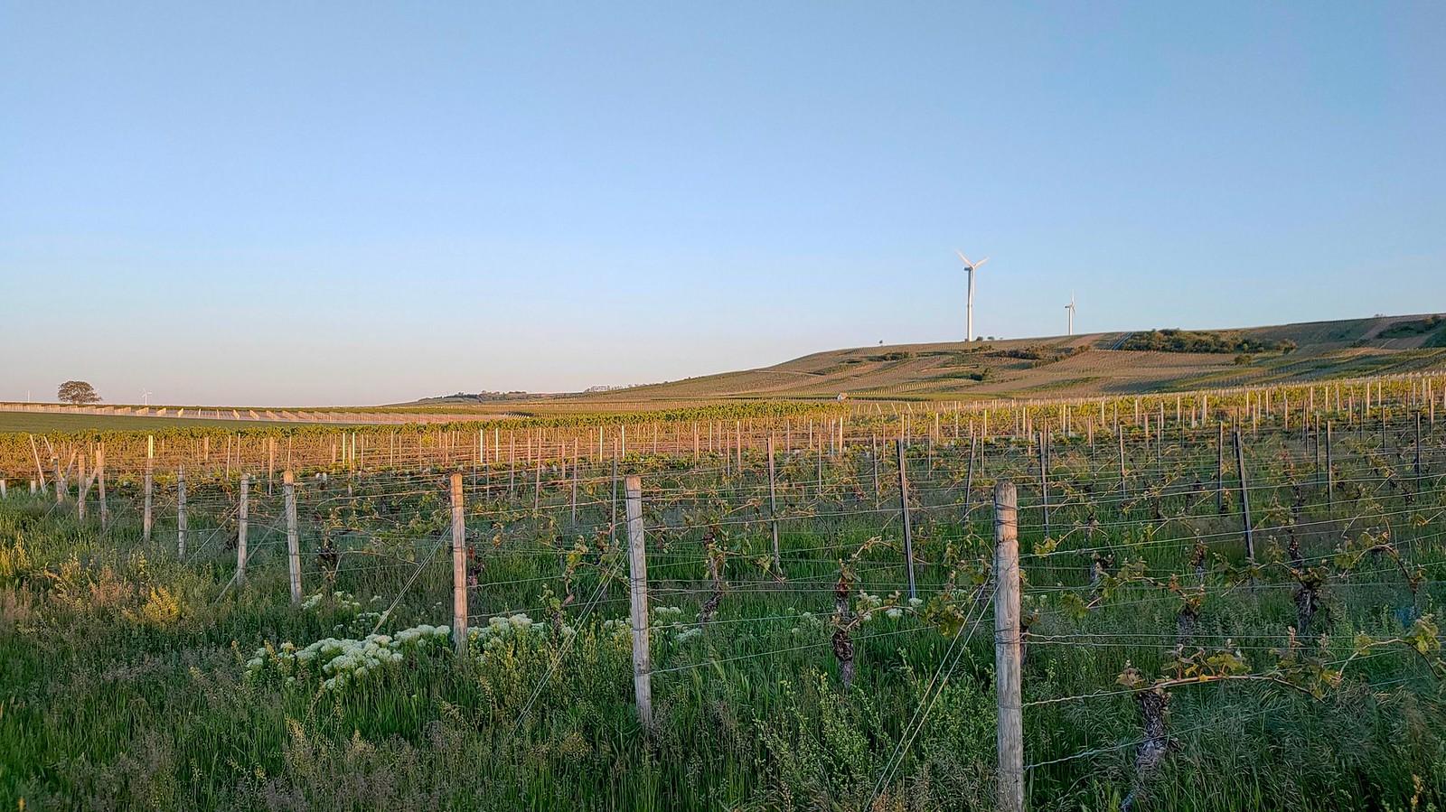 Weinbergen von Selzen am Selzer Berg