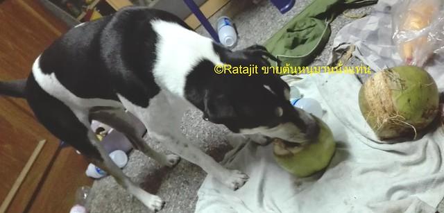สุนัขกินมะพร้าว
