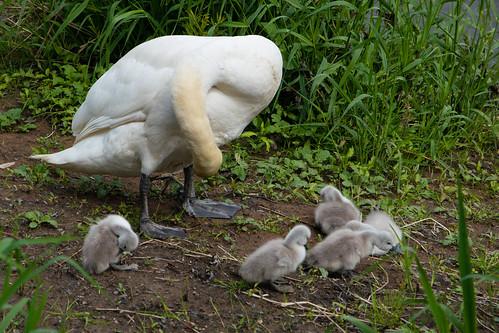 Swan family, English Bridge