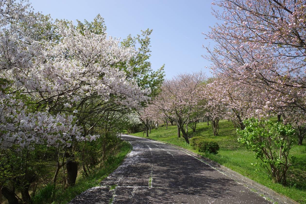 香貫山・桜台の桜