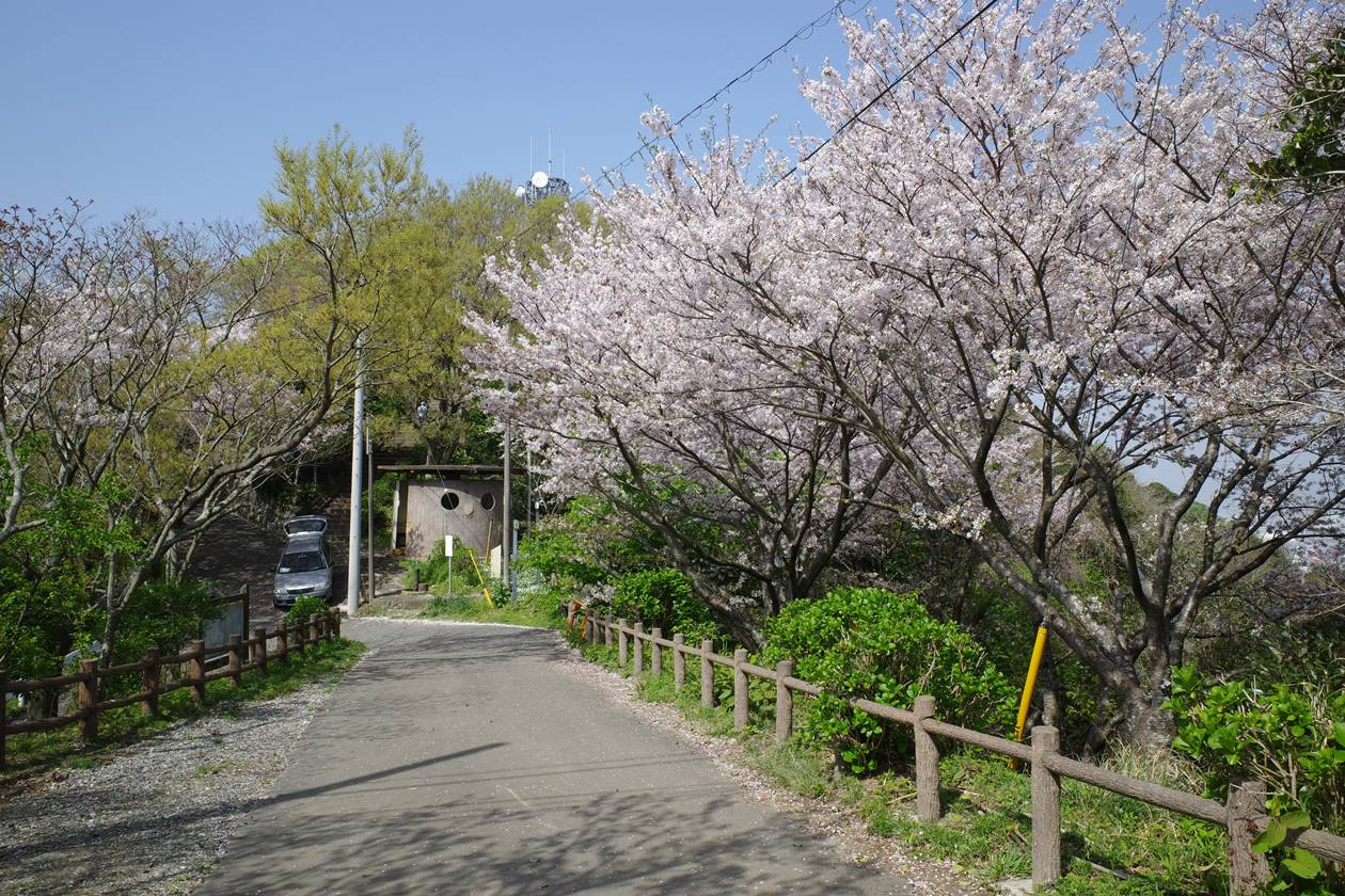 香貫山の桜