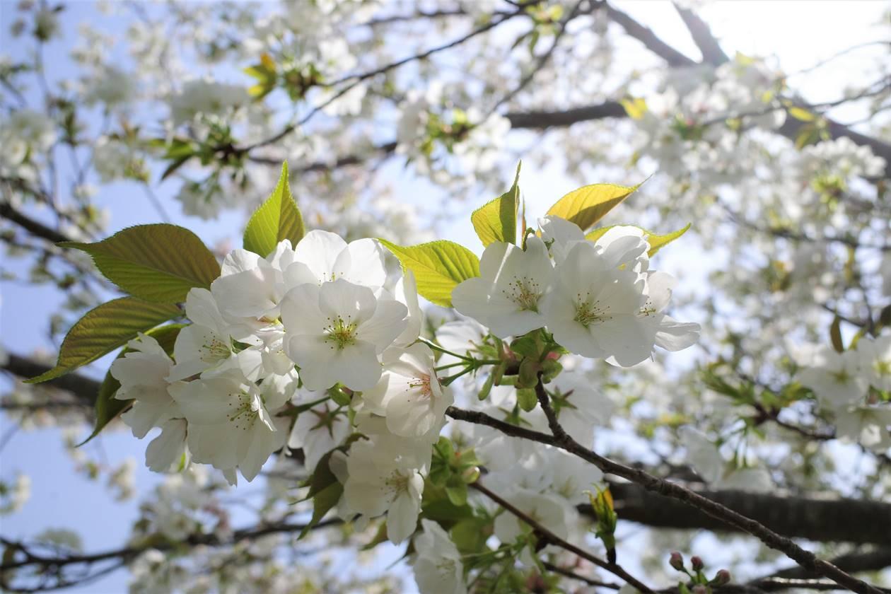 沼津アルプス 志下山・さざなみ展望台の桜