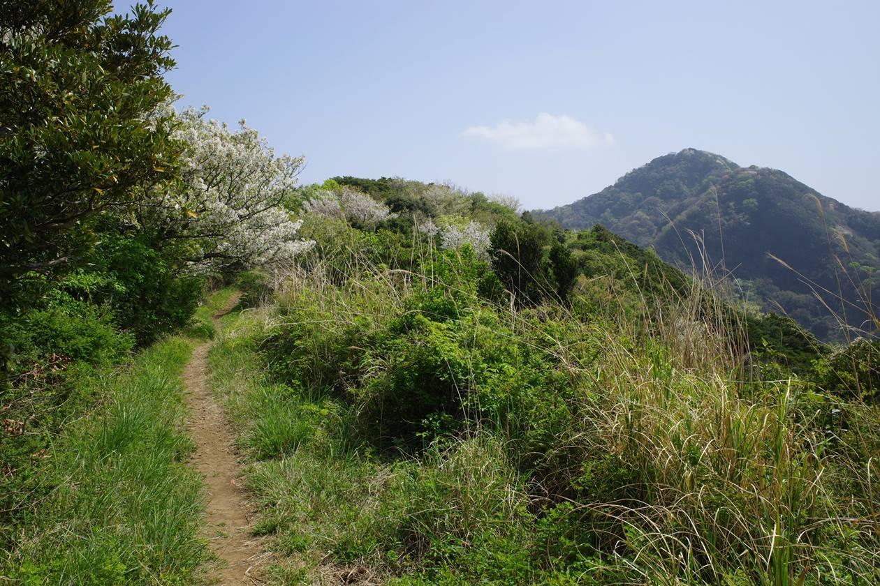 沼津アルプス縦走 草原の登山道と桜