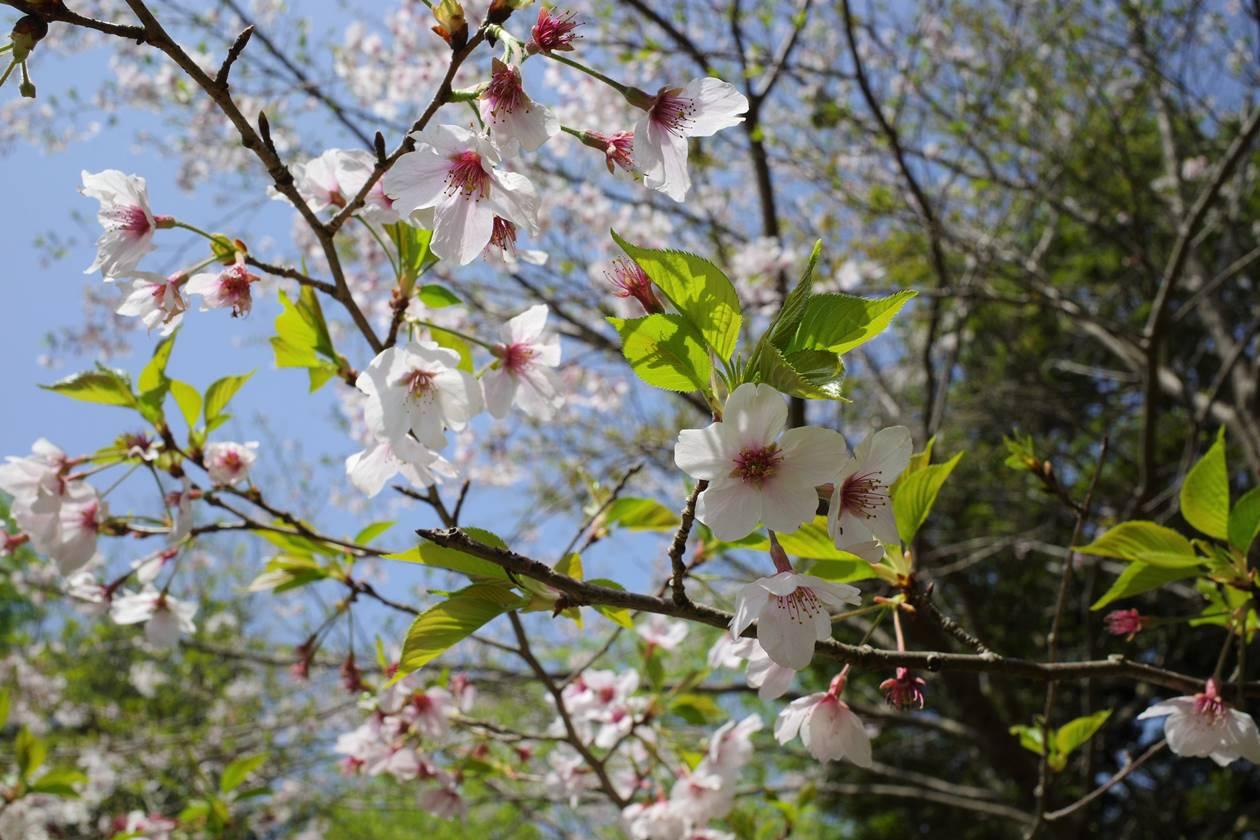 春の沼津アルプス縦走 登山道の桜