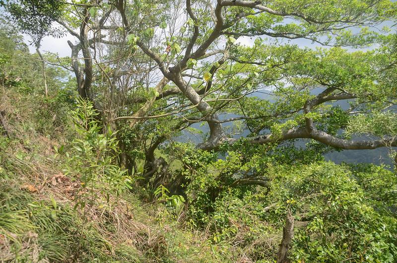 草山登山路徑大榕樹