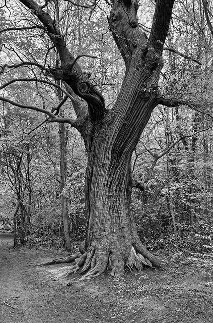 spreading chestnut tree