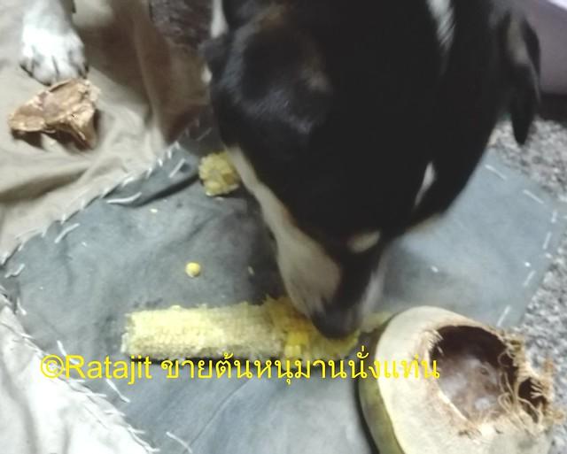 สุนัขกินข้าวโพด