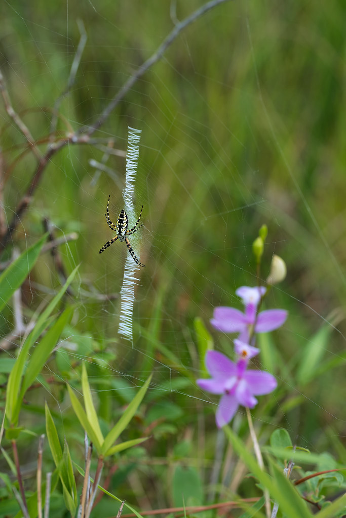 Writing Spider with Common Grass-pink orchid in background