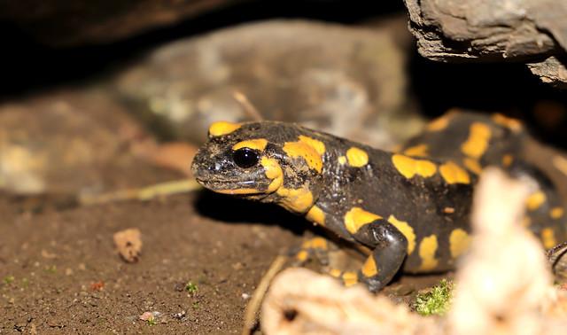 Salamandre (Les Salines) IMG_9769