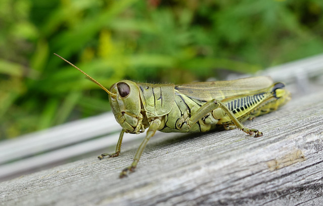 Diferential Grasshopper at the Meadows Garden at Longwood Gardens in Kennett Square, PA