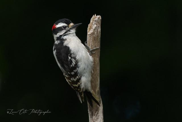 Hairy Woodpecker / Pic Chevelu (M)