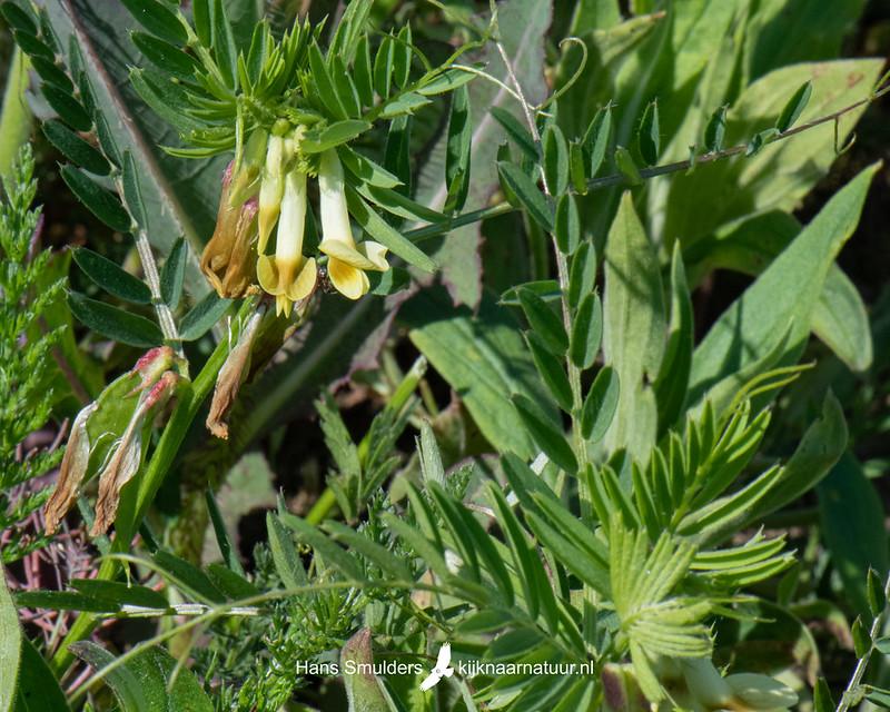 Gele wikke (Vicia lutea)-850_3384