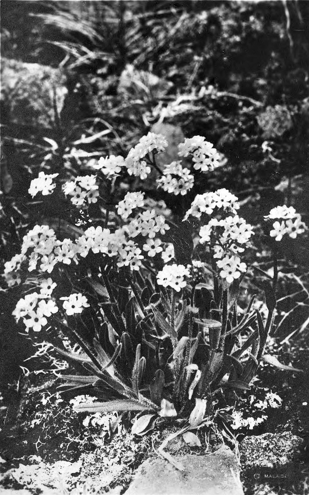 1910. Цветущий багульник.