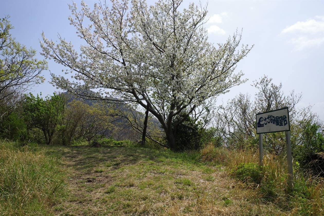 沼津アルプス縦走登山 さざなみ展望台の桜