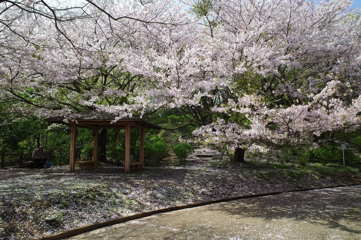香貫山 満開の桜登山