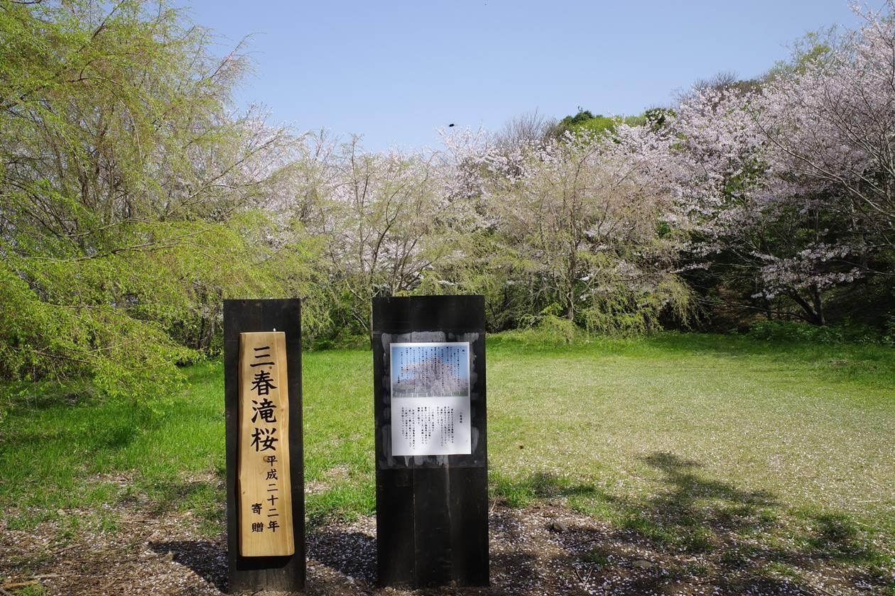 【沼津】香貫山 三春滝桜