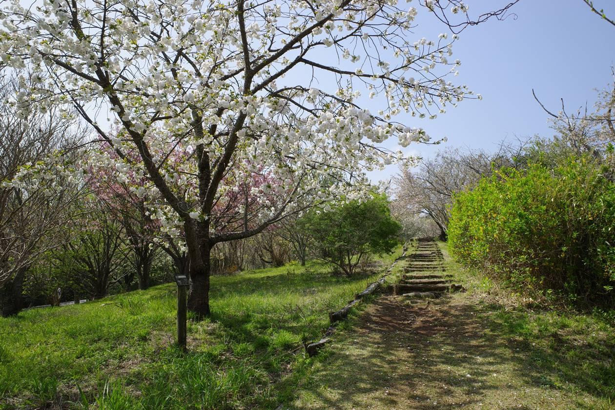 新桜台の桜と登山道