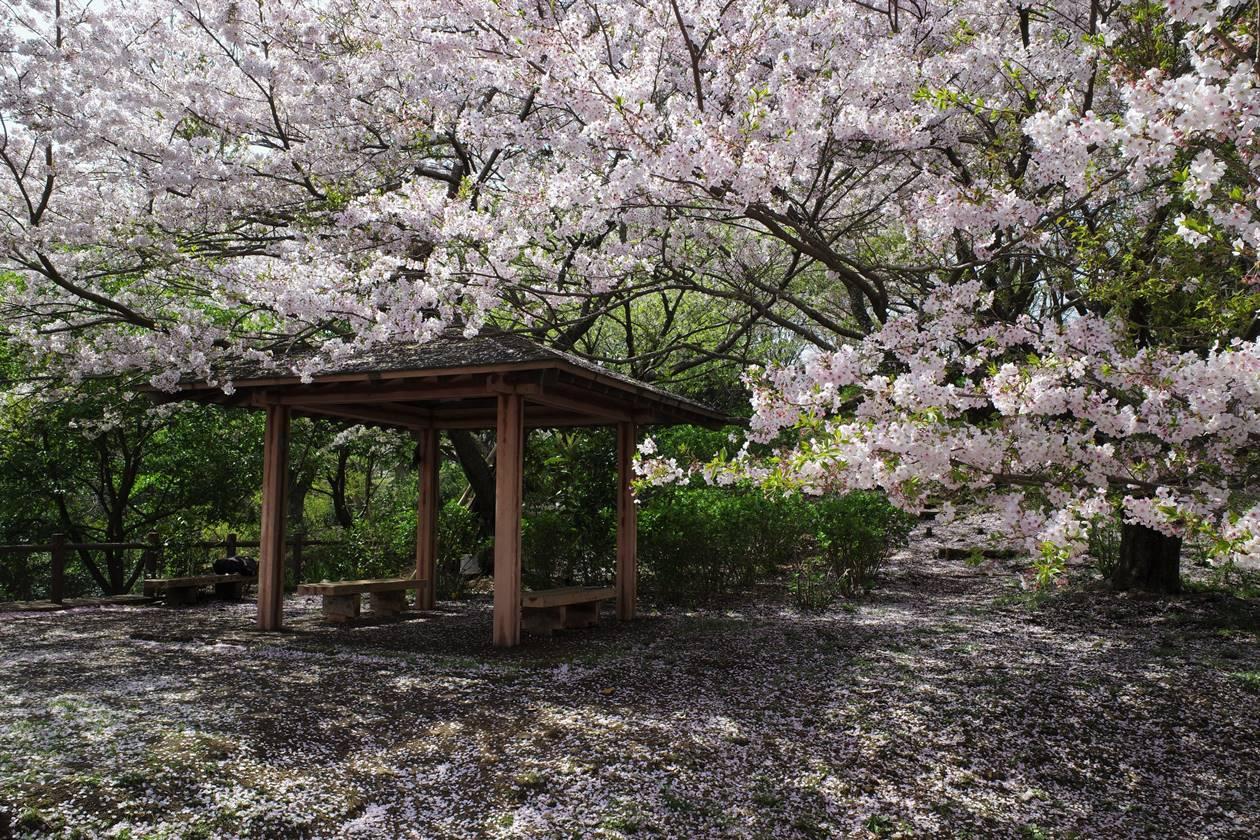 香貫山~新桜台 満開の桜