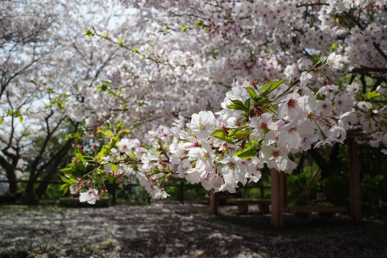 香貫山登山 満開の桜