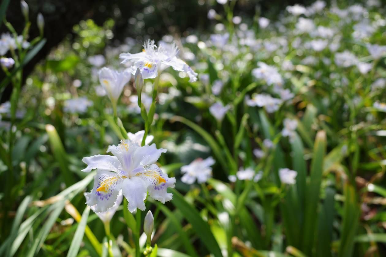 香貫山 シャガの花