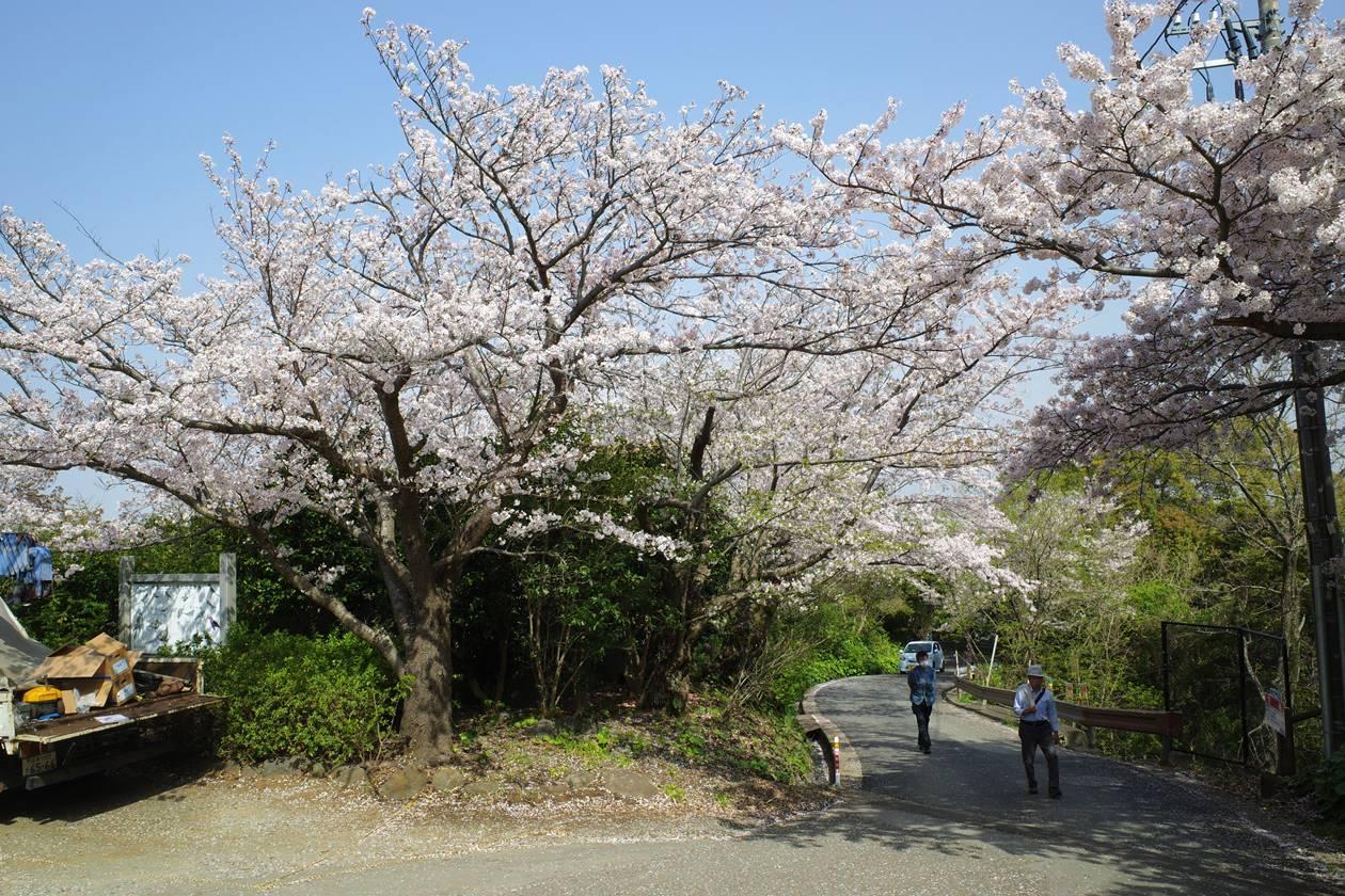 香貫山の桜 春のお花見ハイキング