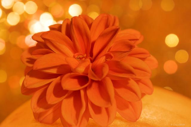 Dahila all in orange- One of my favorite colors