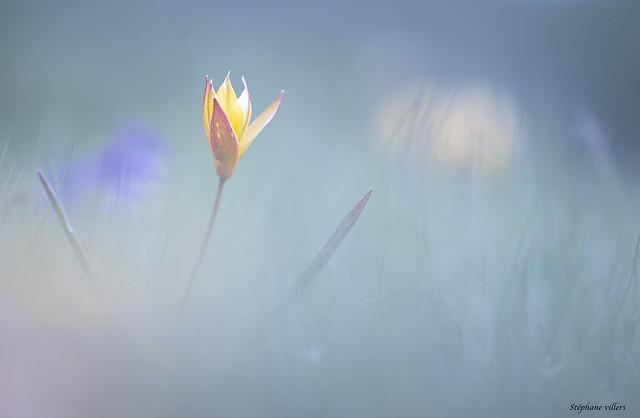 Tulipe sauvage !