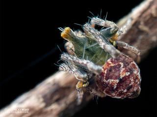 Periscope orb weaver (Araneidae) - P5239139