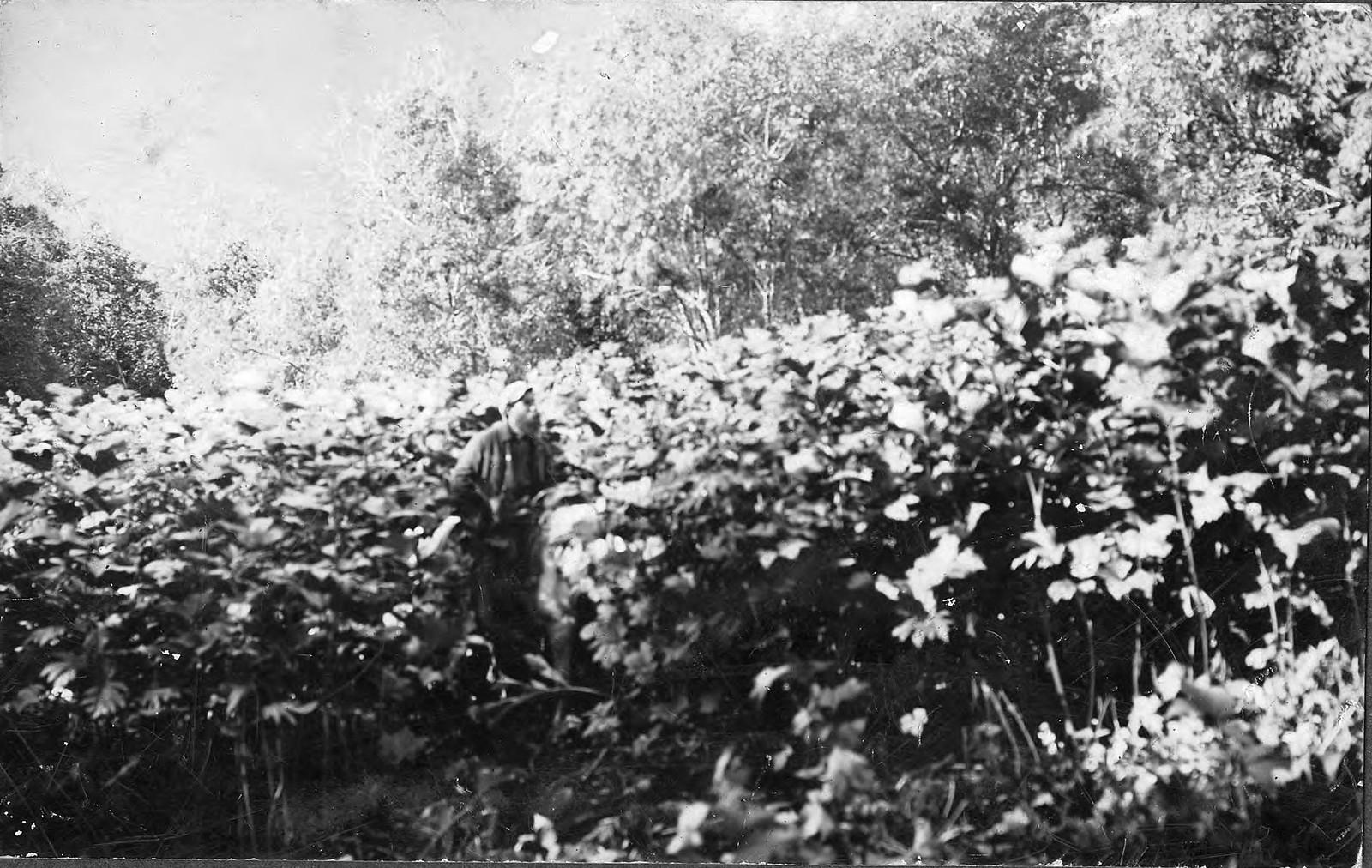 1910. Заросли лабазника (шеломайника)