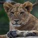 "<p><a href=""https://www.flickr.com/people/154721682@N04/"">Joseph Deems</a> posted a photo:</p>  <p><a href=""https://www.flickr.com/photos/154721682@N04/51216496880/"" title=""Lion cub""><img src=""https://live.staticflickr.com/65535/51216496880_d993bfb4e9_m.jpg"" width=""224"" height=""240"" alt=""Lion cub"" /></a></p>  <p>Dallas Zoo</p>"
