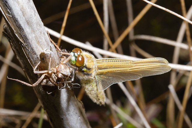 Newly Hatched Four Spotted Chaser