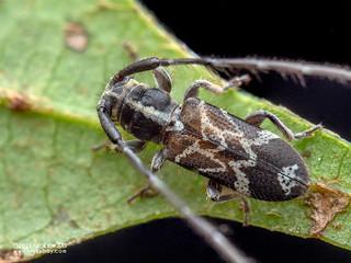 Longhorn beetle (Egesina minuta) - P5239187