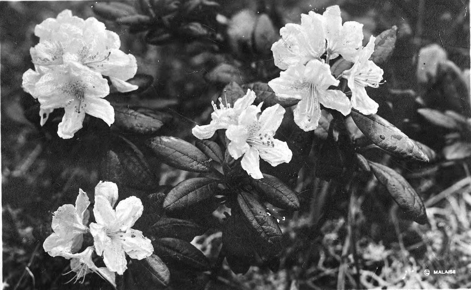 1910. Рододендрон золотистый
