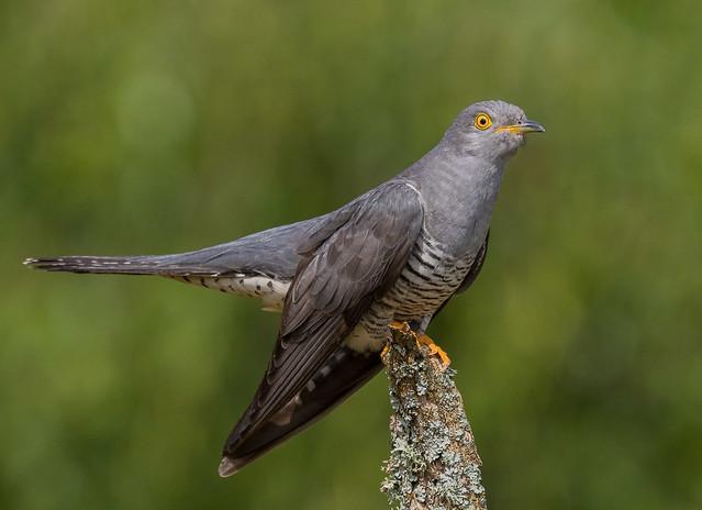 Cuckoo, male. Thursley Common, Surrey. DSC_2374.jpg