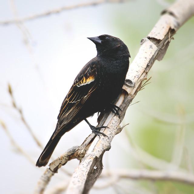 151.365.9 / Red-winged Blackbird
