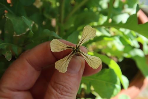 Blüte von unserem Rucola