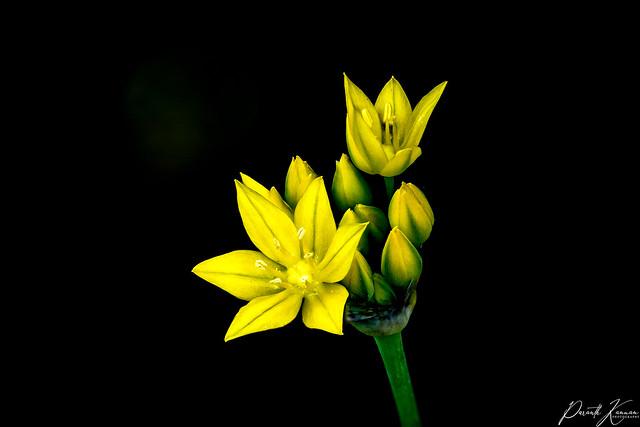 Yellow Star Grass...
